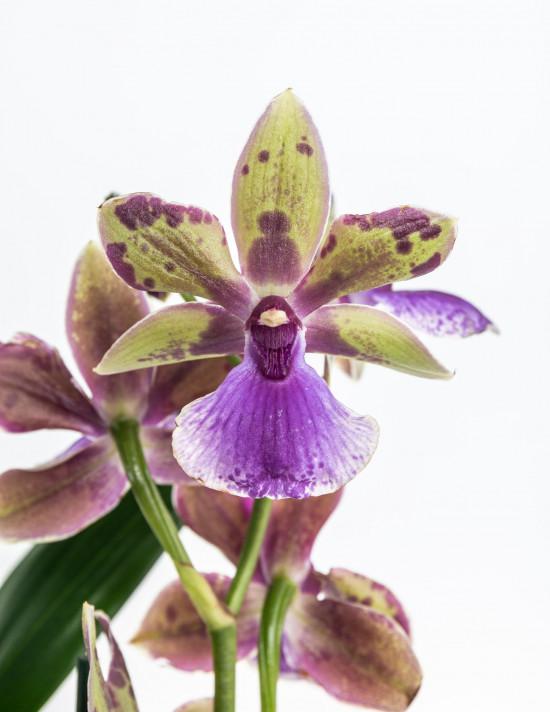 Orchidej Chomoutovka, Zygopetalum, 1 výhon-9031