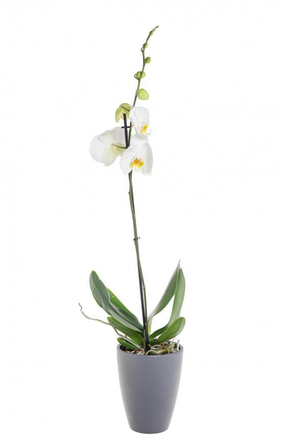 Orchidej Můrovec, Phalaenopsis, 1 výhon, bílá-11955