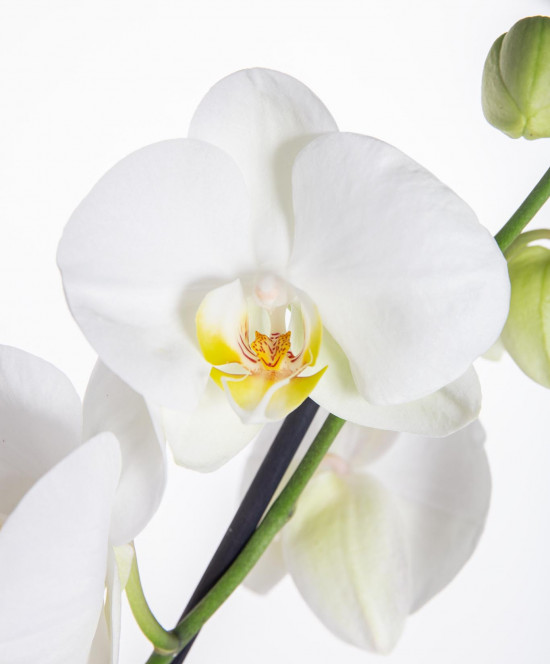 Orchidej Můrovec, Phalaenopsis, 1 výhon, bílá-11956