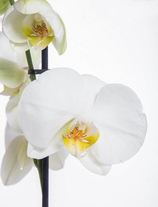 Orchidej Můrovec, Phalaenopsis, 1 výhon, bílá-11957