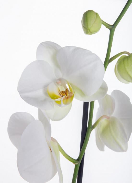 Orchidej Můrovec, Phalaenopsis, 1 výhon, bílá-11958