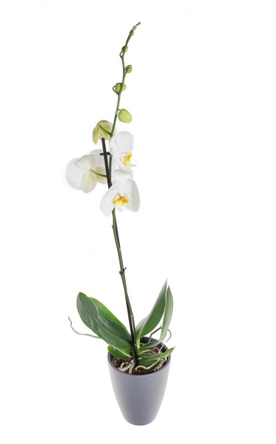 Orchidej Můrovec, Phalaenopsis, 1 výhon, bílá-11959