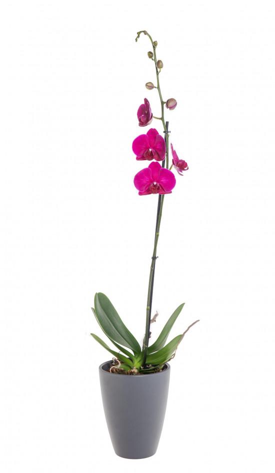Orchidej Můrovec, Phalaenopsis, 1 výhon, fialová-11950