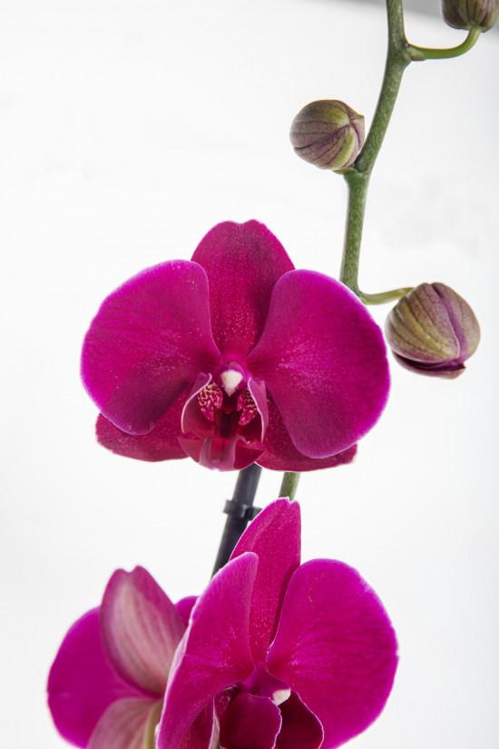 Orchidej Můrovec, Phalaenopsis, 1 výhon, fialová-11951