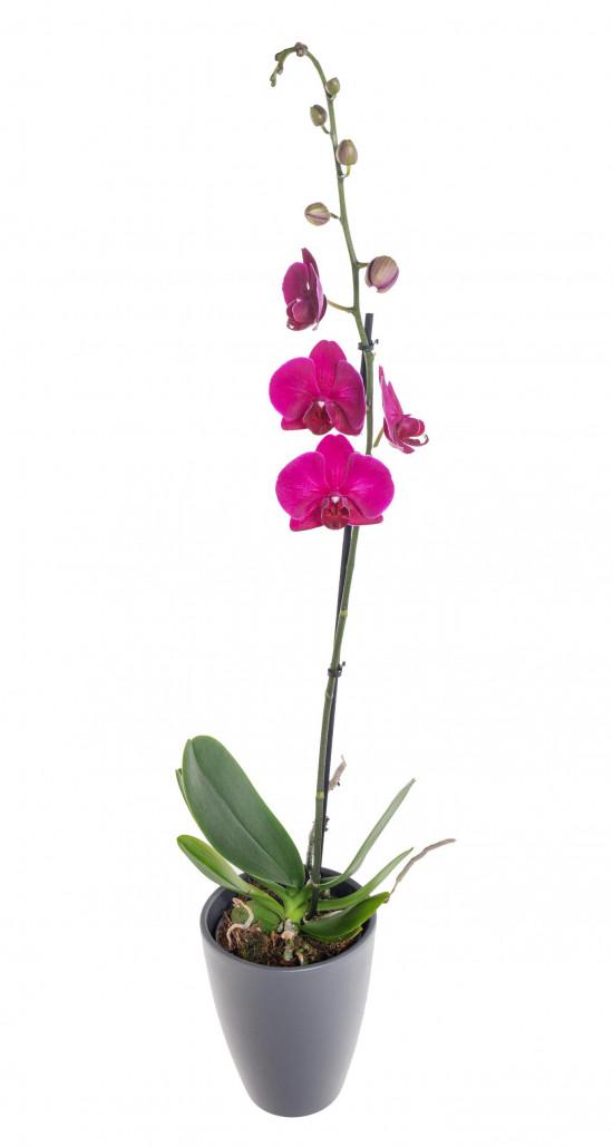 Orchidej Můrovec, Phalaenopsis, 1 výhon, fialová-11953
