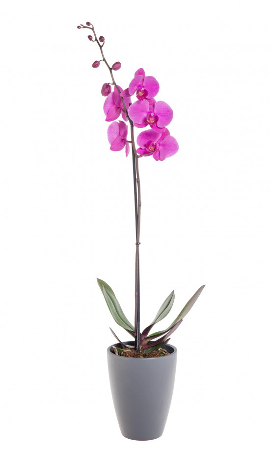 Orchidej Můrovec, Phalaenopsis, 1 výhon, růžová-11945