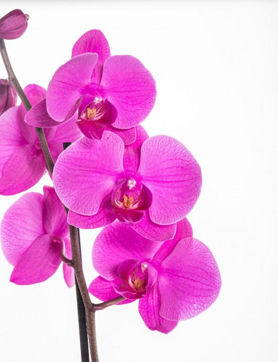 Orchidej Můrovec, Phalaenopsis, 1 výhon, růžová-11947