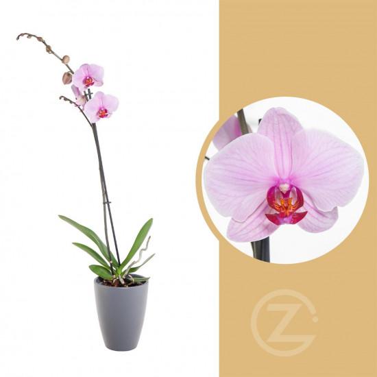 Orchidej Můrovec, Phalaenopsis, 1 výhon, světle růžová