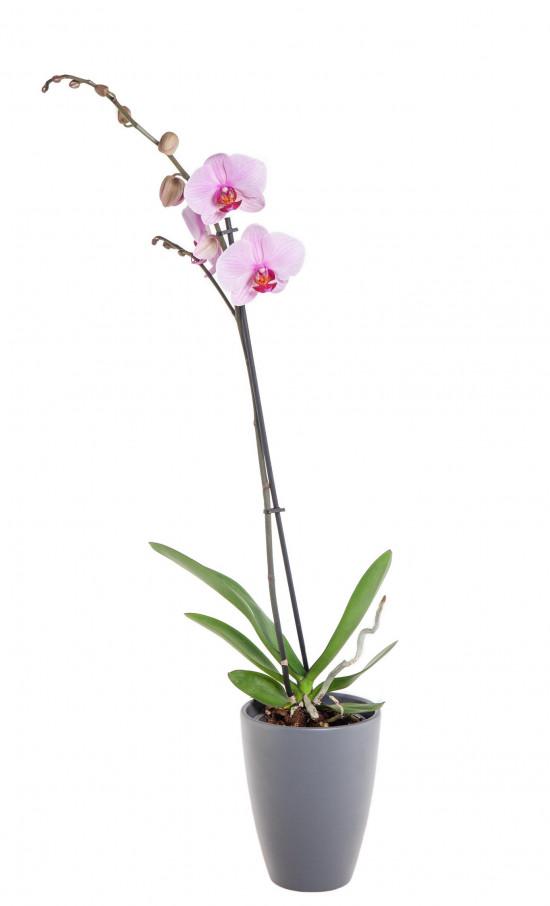 Orchidej Můrovec, Phalaenopsis, 1 výhon, světle růžová-11940