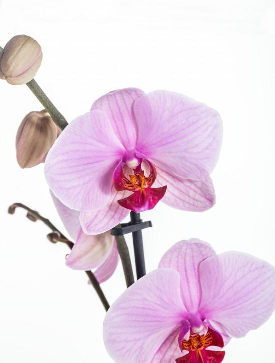 Orchidej Můrovec, Phalaenopsis, 1 výhon, světle růžová-11942