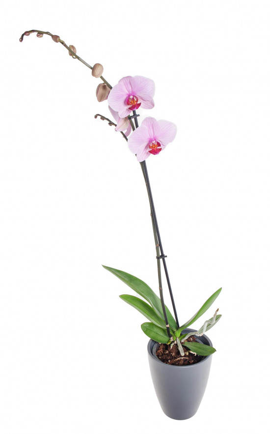Orchidej Můrovec, Phalaenopsis, 1 výhon, světle růžová-11943