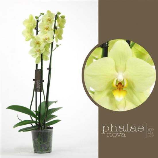 Orchidej Můrovec, Phalaenopsis Alassio, 2 výhony, žlutá