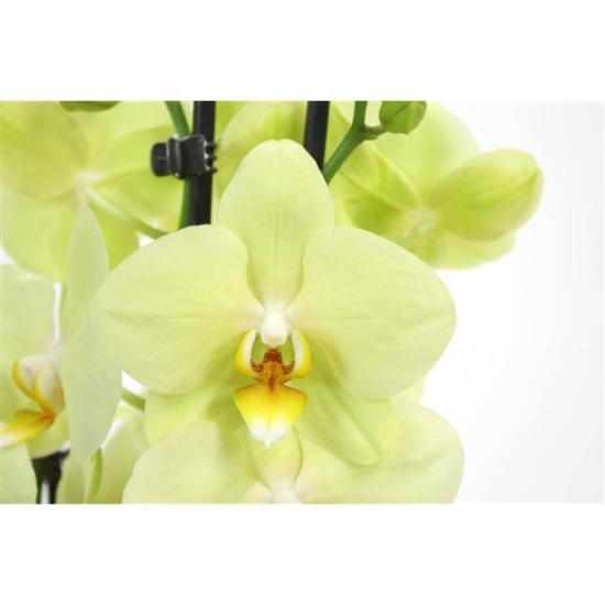 Orchidej Můrovec, Phalaenopsis Alassio, 2 výhony, žlutá-3354