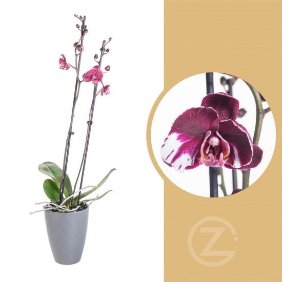 Orchidej Můrovec, Phalaenopsis Asian Coral, 2 výhony, bílo - fialová