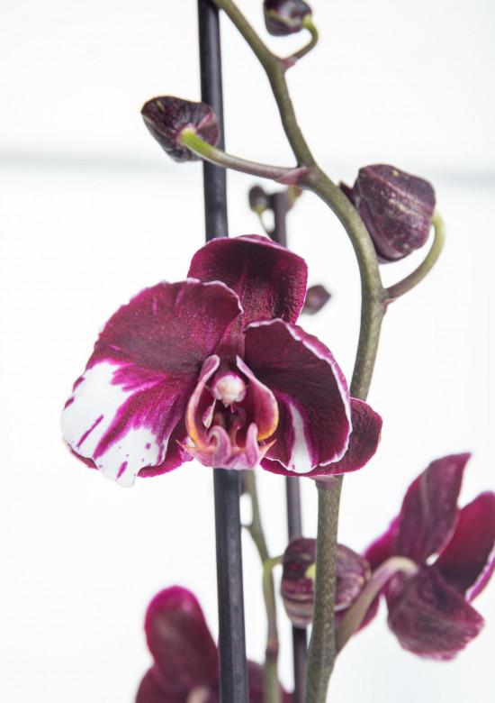 Orchidej Můrovec, Phalaenopsis Asian Coral, 2 výhony, bílo - fialová-14298