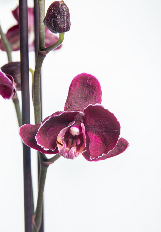 Orchidej Můrovec, Phalaenopsis Asian Coral, 2 výhony, bílo - fialová-14299