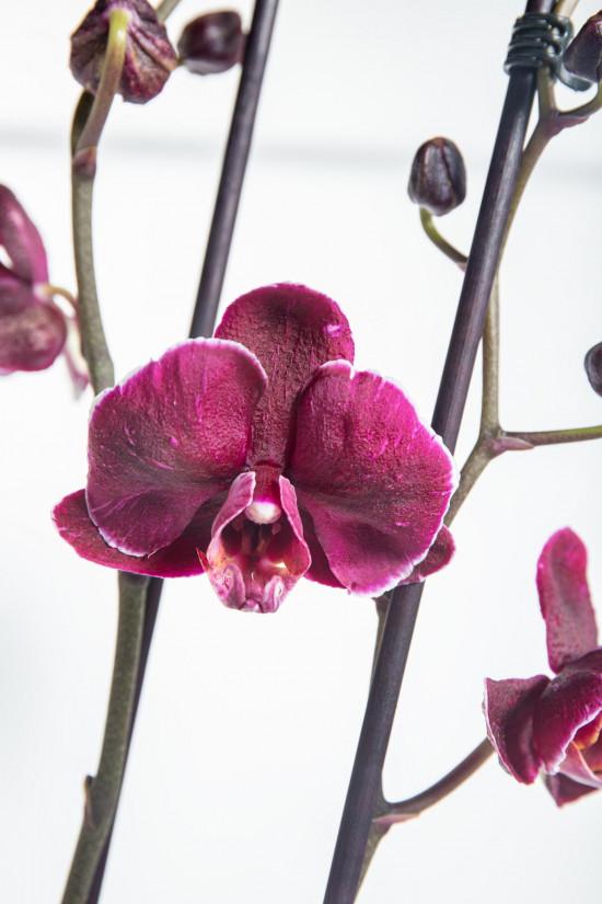 Orchidej Můrovec, Phalaenopsis Asian Coral, 2 výhony, bílo - fialová-14300