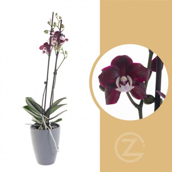 Orchidej Můrovec, Phalaenopsis Black Widow, 2 výhony, černo - fialová