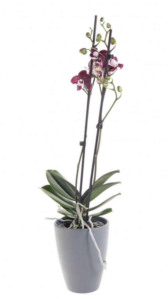 Orchidej Můrovec, Phalaenopsis Black Widow, 2 výhony, černo - fialová-12448