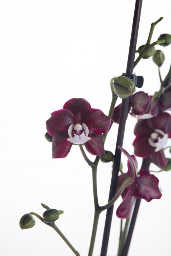 Orchidej Můrovec, Phalaenopsis Black Widow, 2 výhony, černo - fialová-12449