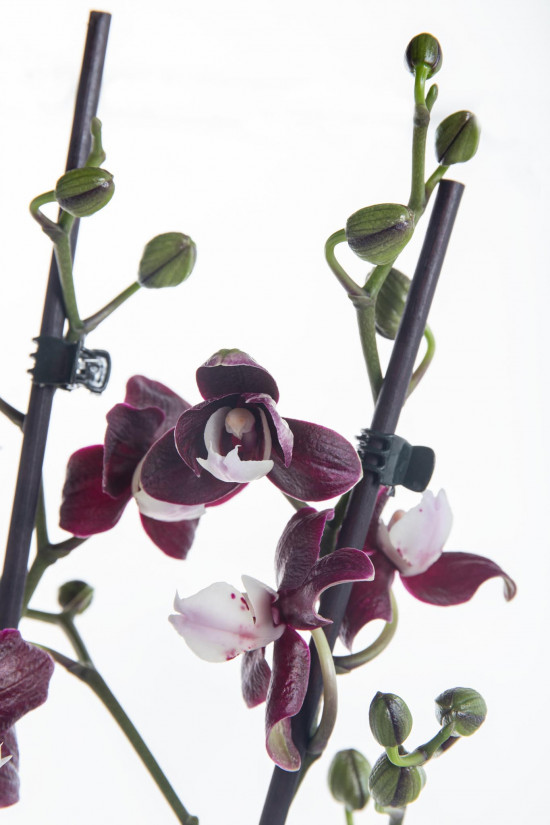 Orchidej Můrovec, Phalaenopsis Black Widow, 2 výhony, černo - fialová-12450