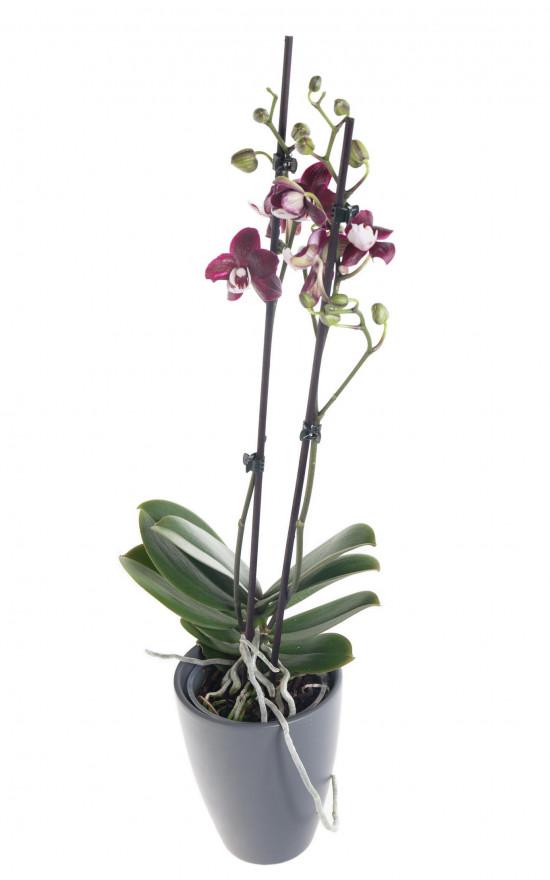 Orchidej Můrovec, Phalaenopsis Black Widow, 2 výhony, černo - fialová-12451