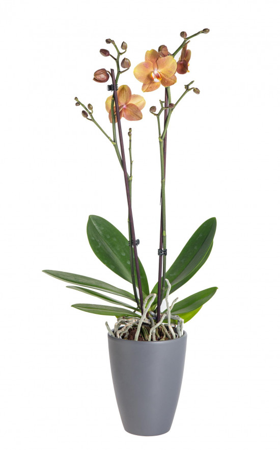 Orchidej Můrovec, Phalaenopsis Brownie, 2 výhony, oranžová-13749