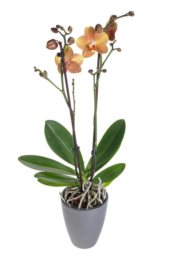 Orchidej Můrovec, Phalaenopsis Brownie, 2 výhony, oranžová-13752