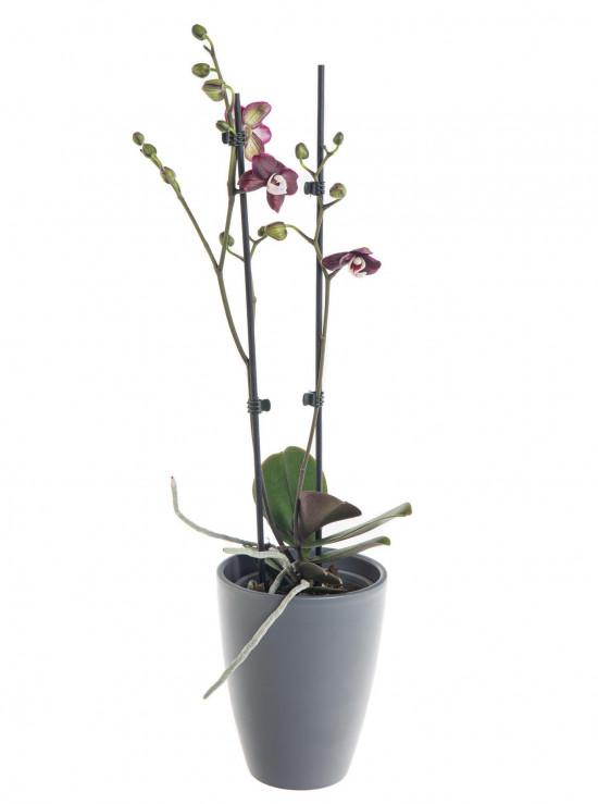 Orchidej Můrovec, Phalaenopsis Choco Paradise, 2 výhony, tmavě fialová-7328