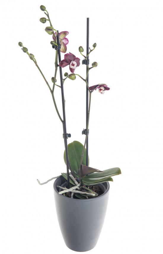 Orchidej Můrovec, Phalaenopsis Choco Paradise, 2 výhony, tmavě fialová-7329