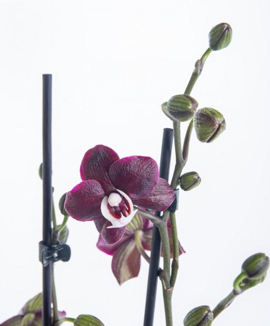 Orchidej Můrovec, Phalaenopsis Choco Paradise, 2 výhony, tmavě fialová-7330