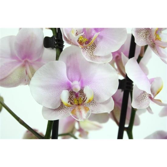 Orchidej Můrovec, Phalaenopsis Copenhagen, 2 výhony, bílo - růžová-3411