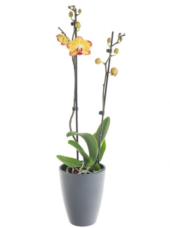 Orchidej Můrovec, Phalaenopsis Evolution, 2 výhony, žluto - vínová-7332