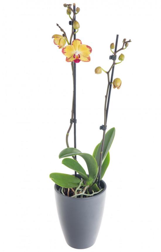 Orchidej Můrovec, Phalaenopsis Evolution, 2 výhony, žluto - vínová-7333