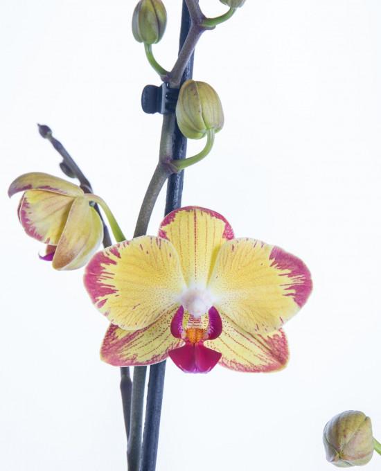 Orchidej Můrovec, Phalaenopsis Evolution, 2 výhony, žluto - vínová-7334