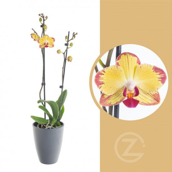 Orchidej Můrovec, Phalaenopsis Evolution, 2 výhony, žluto - vínová