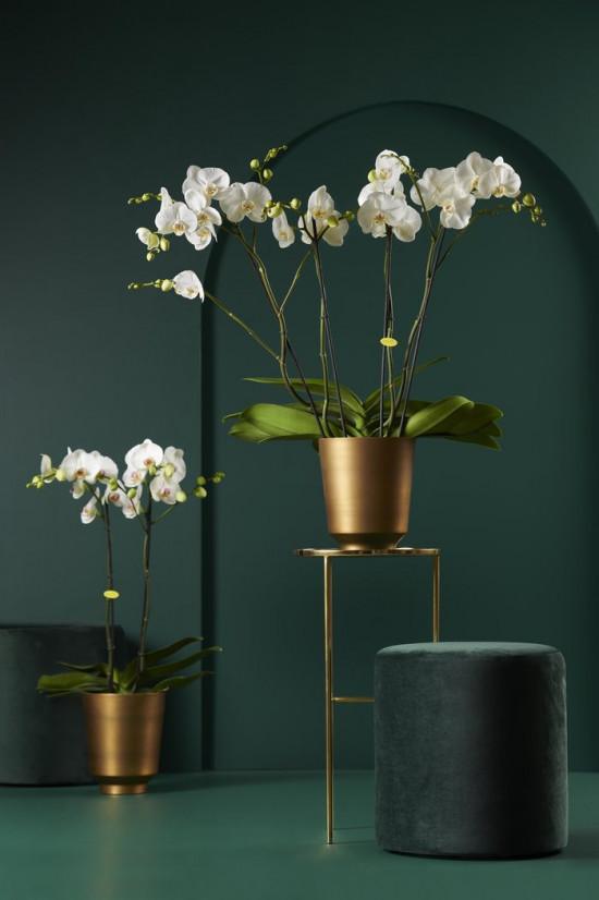 Orchidej Můrovec, Phalaenopsis EXTRA, 3 výhony, bílá-6775