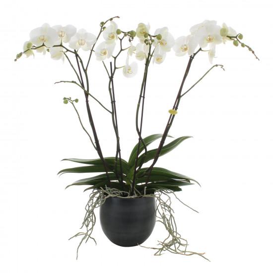 Orchidej Můrovec, Phalaenopsis EXTRA, 4 výhony, bílá-6777