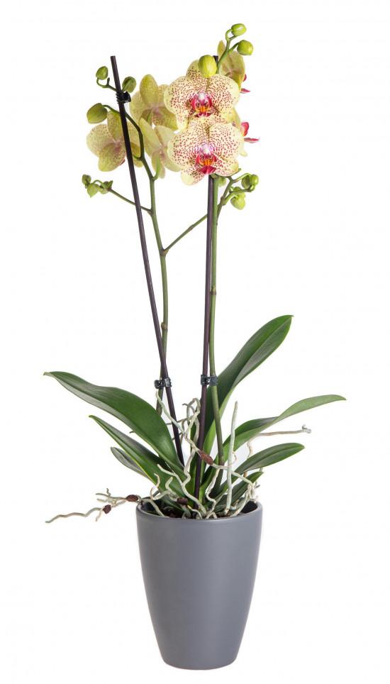 Orchidej Můrovec, Phalaenopsis Fancy Freckles, 2 výhony, žluto - vínová-13797