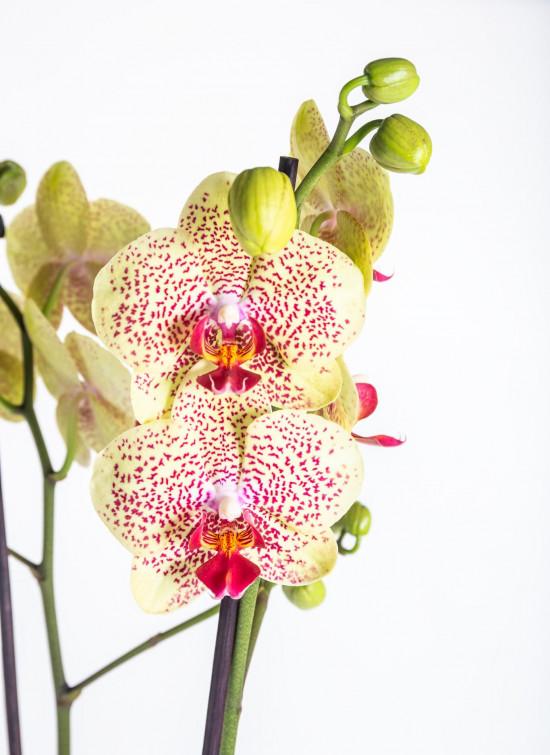 Orchidej Můrovec, Phalaenopsis Fancy Freckles, 2 výhony, žluto - vínová-13798