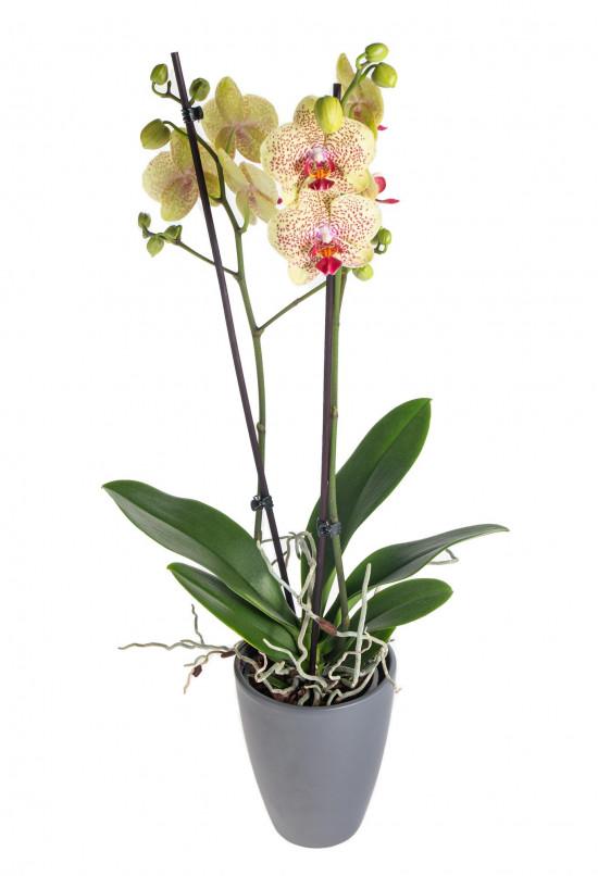 Orchidej Můrovec, Phalaenopsis Fancy Freckles, 2 výhony, žluto - vínová-13799