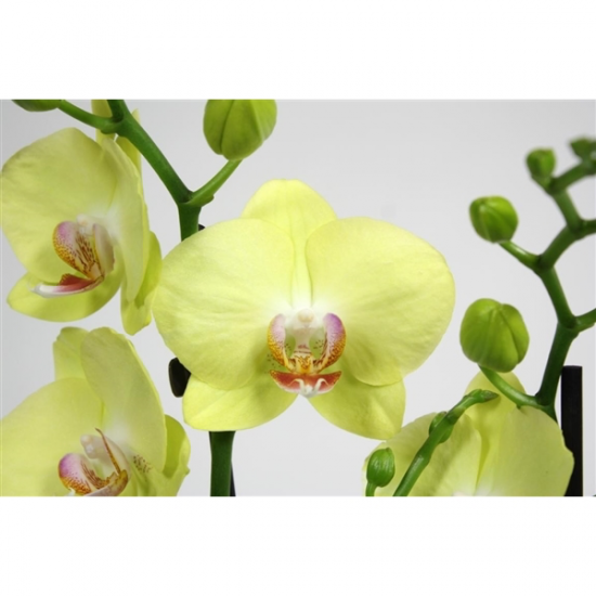 Orchidej Můrovec, Phalaenopsis Green Crystal, 2 výhony, zeleno - žlutá-3413
