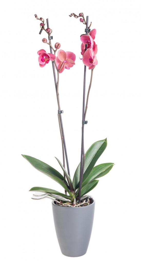 Orchidej Můrovec, Phalaenopsis Happy Angels Dream, 2 výhony, růžová-14291