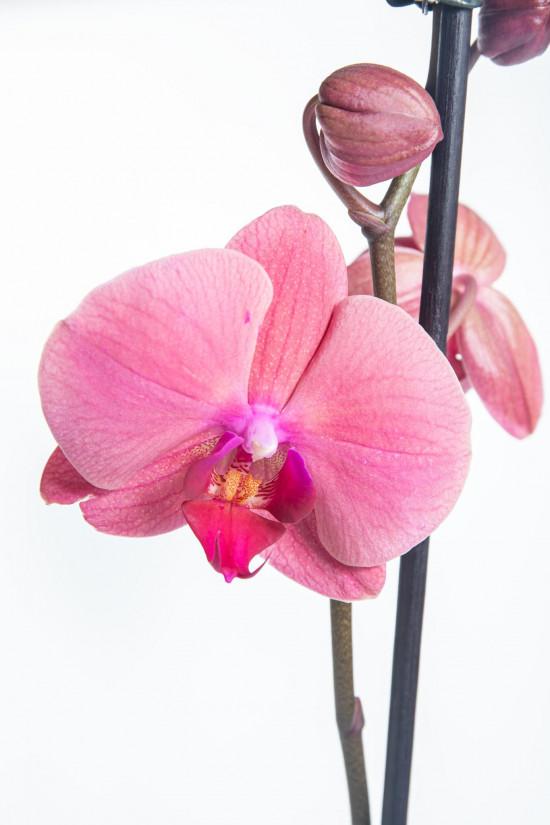 Orchidej Můrovec, Phalaenopsis Happy Angels Dream, 2 výhony, růžová-14292