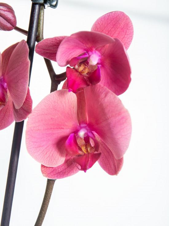 Orchidej Můrovec, Phalaenopsis Happy Angels Dream, 2 výhony, růžová-14293