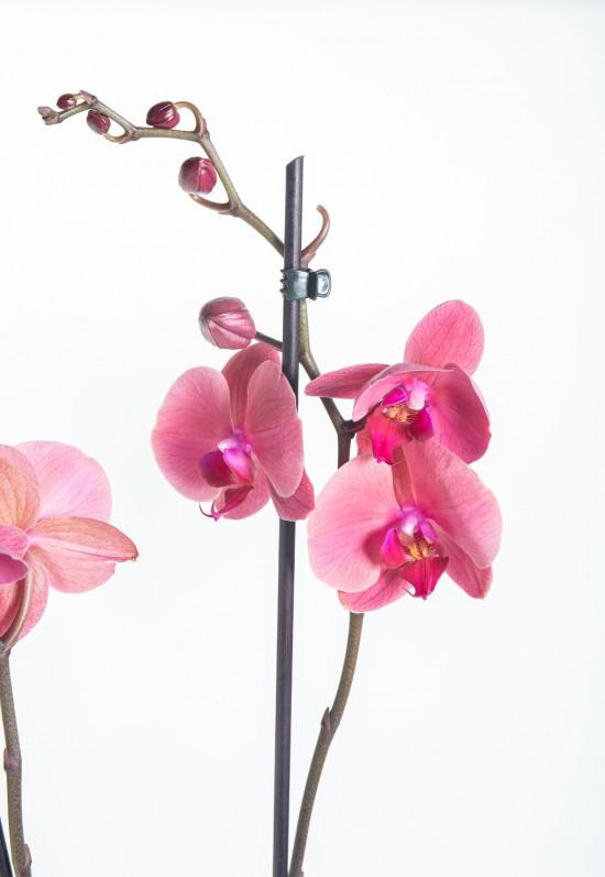 Orchidej Můrovec, Phalaenopsis Happy Angels Dream, 2 výhony, růžová-14294