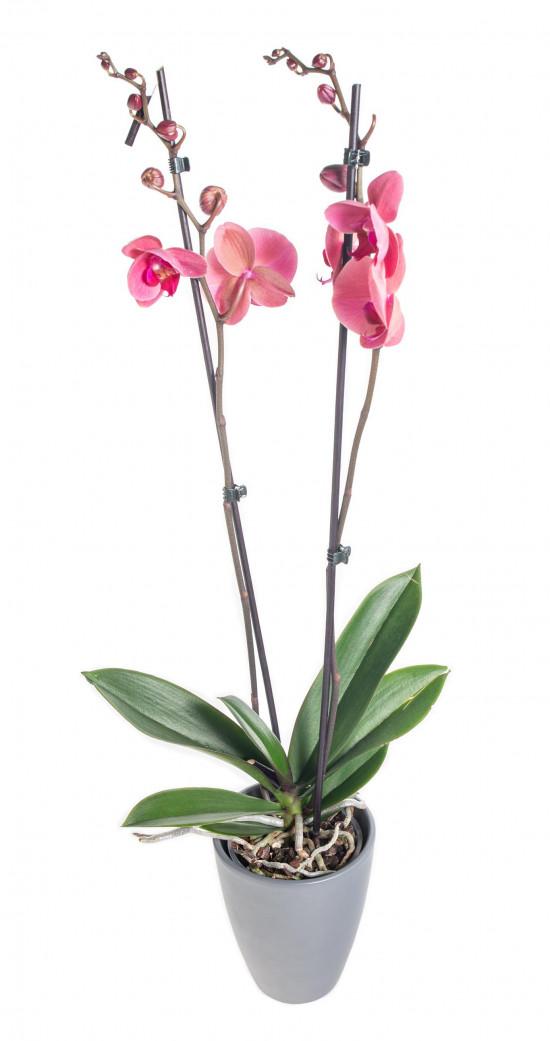 Orchidej Můrovec, Phalaenopsis Happy Angels Dream, 2 výhony, růžová-14295