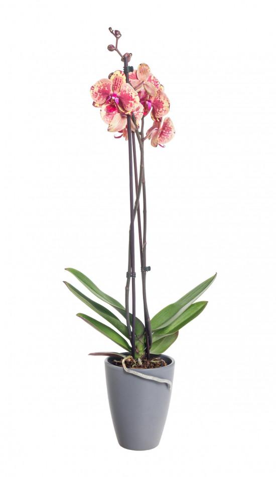 Orchidej Můrovec, Phalaenopsis Isa, 2 výhony, žluto - vínová-14892