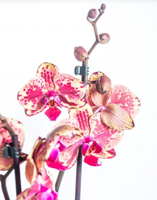 Orchidej Můrovec, Phalaenopsis Isa, 2 výhony, žluto - vínová-14893