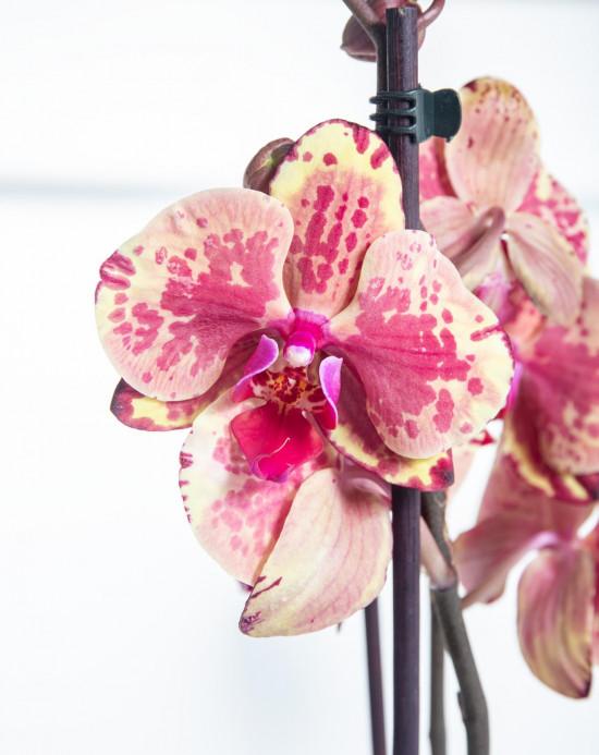 Orchidej Můrovec, Phalaenopsis Isa, 2 výhony, žluto - vínová-14895